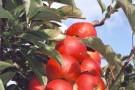 Nieuw Slagmaat appelboom