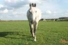 Nieuw Slagmaat paard