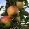 Je eigen appels plukken op 7 en 8 aug en in sept